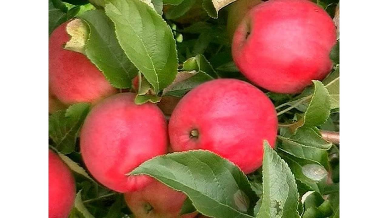 Яблоня малиновка (суйслепское): описание сорта и фото, характеристики и особенности selo.guru — интернет портал о сельском хозяйстве