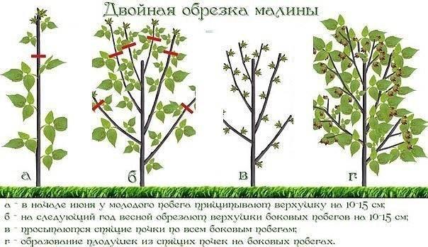 Как и когда правильно сажать малину осенью или весной, в каком месяце?