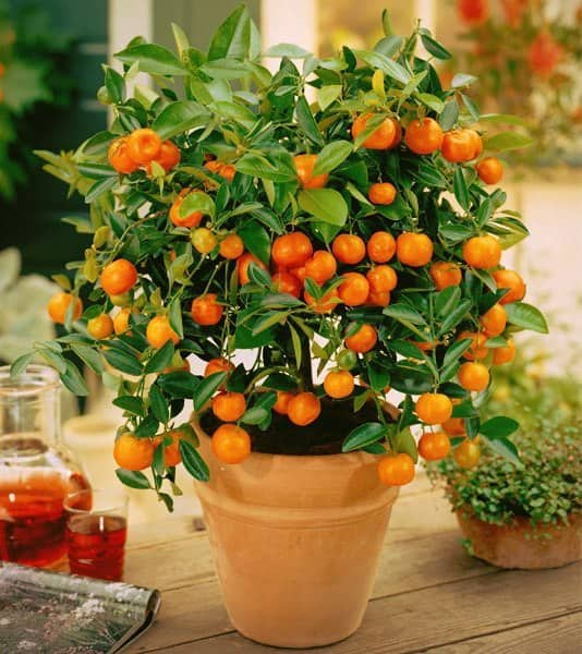 Удобрения для цитрусовых комнатных растений