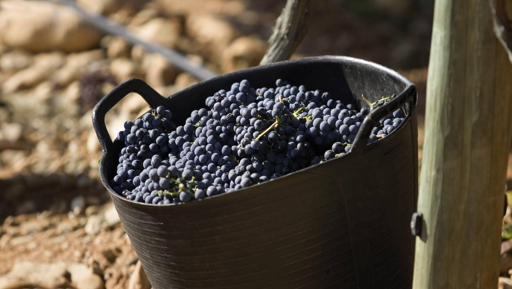 Николай курдюмов: виноград и другие ягоды вашего сада