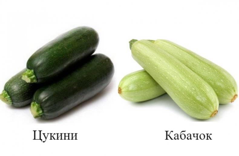 Сангрум f1 – ранний, сладкий, урожайный кабачок. отзывы дачников, описание, советы по выращиванию
