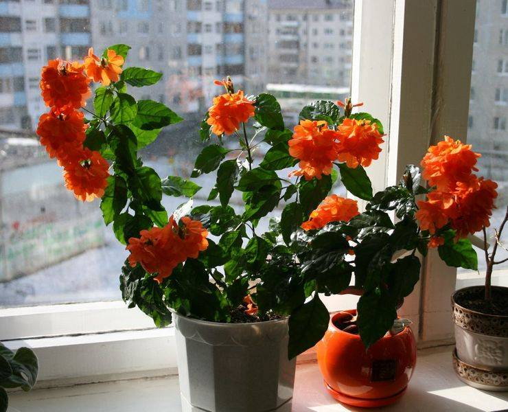 Кроссандра: уход в домашних условиях и особенности