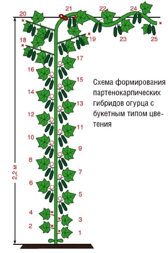 Как формировать огурцы в теплице из поликарбоната? как прищипывать и пасынковать: пошаговые действия и фото русский фермер