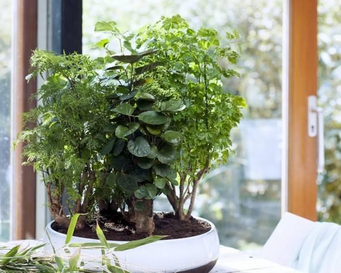 Полисциас - фото, уход в домашних условиях, размножение комнатных растений