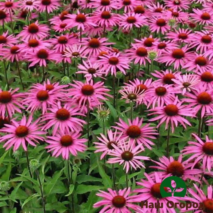 Особенности выращивания эхинацеи: посадка и уход за многолетником