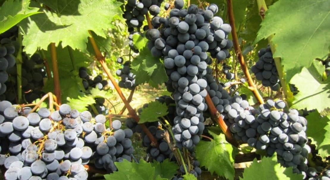 Виноград ливадийский черный: описание, фото и отзывы