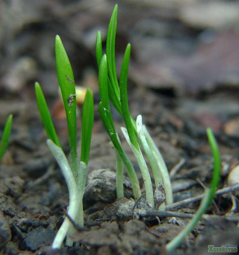 Как посадить черемшу на даче весной - секреты садоводов
