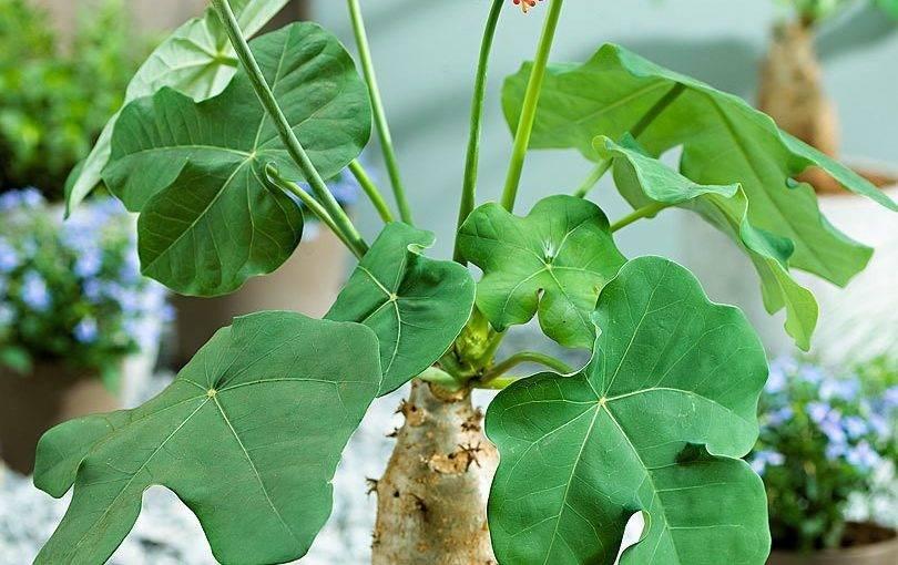 Ятрофа — уход и содержание в домашних условиях, фото и видео selo.guru — интернет портал о сельском хозяйстве