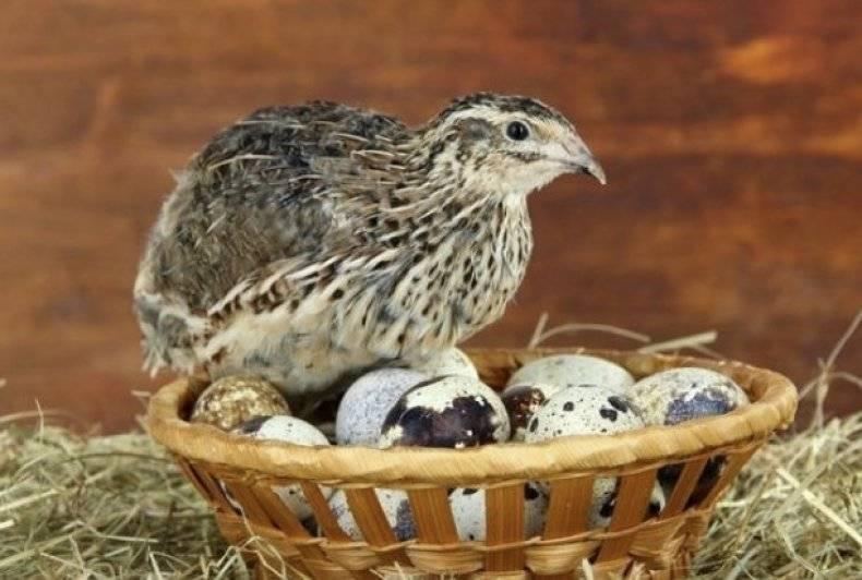 Эстонский перепел - одна из лучших яичных пород для домашнего разведения