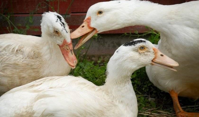 Почему гусята выщипывают перьядруг у друга: решение проблемы