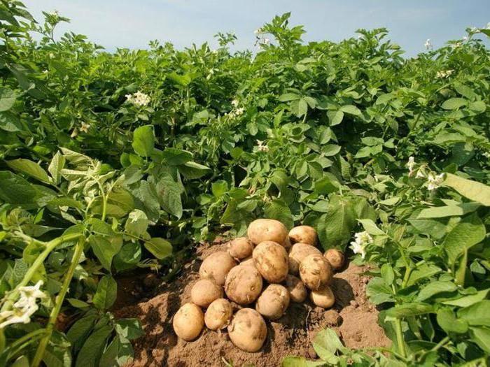 ᐉ урожайность картофеля с 1 га в россии и мире – анализ - roza-zanoza.ru