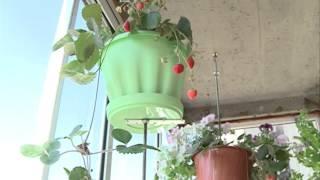 Земляника ампельная крупноплодная: особенности выращивания с фото