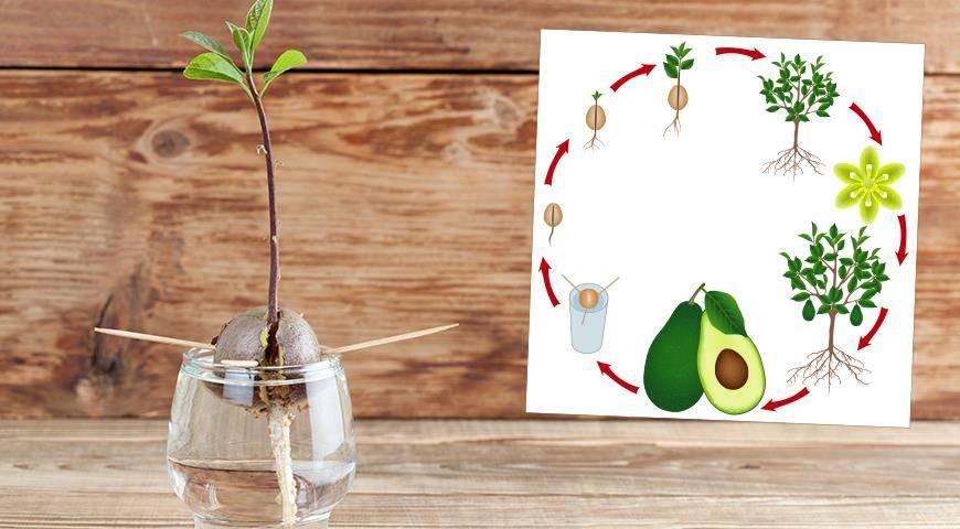Как нужно выращивать помело в домашних условиях