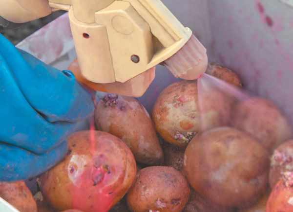 Нематода картофеля стеблевая