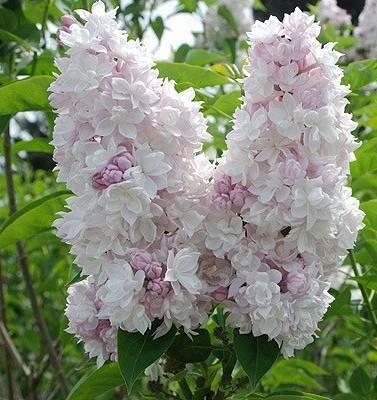 Яблоня красавица москвы: фото и описание нового сорта, а также отзывы о нем