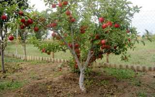 Описание карликовой яблони сорта приземленное