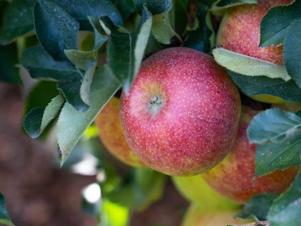 Яблоня веньяминовское: топ отзывы, все секреты посадки, опылители