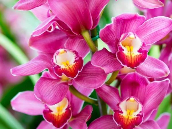 Синяя орхидея: фото, описание цветка, выращивание и правила ухода