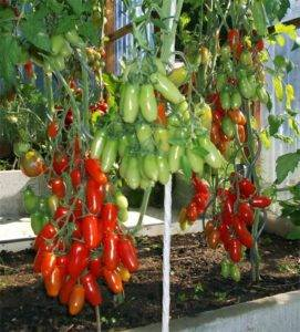 Сорт томатов «казанова»: описание, характеристики, особенности