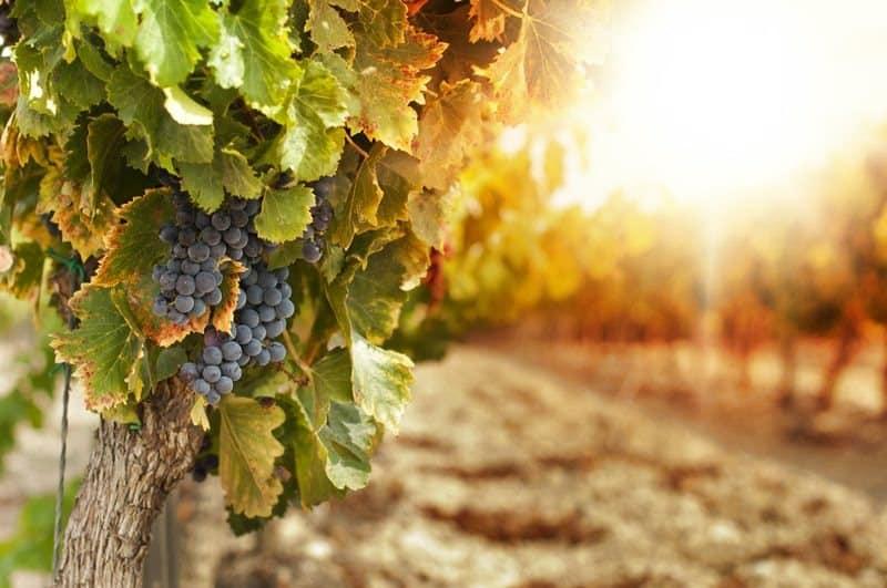 Как укрывать виноград на зиму
