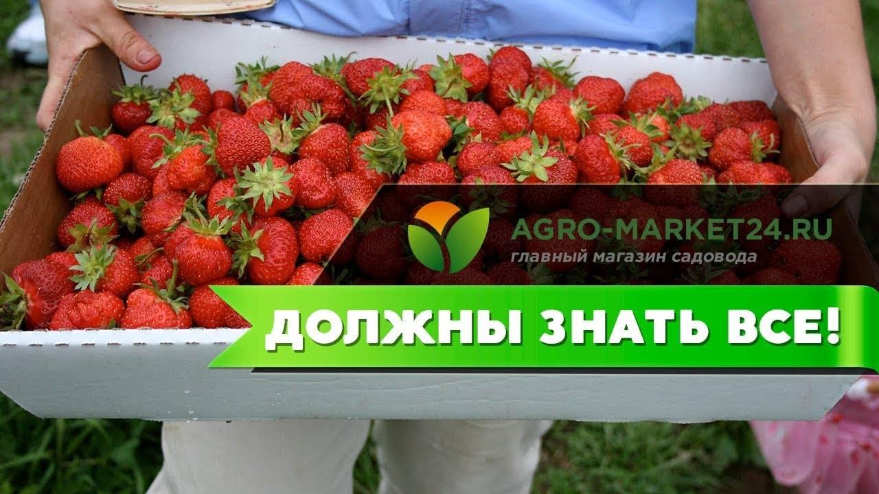 Сорт клубники монтерей — описание и правила выращивания