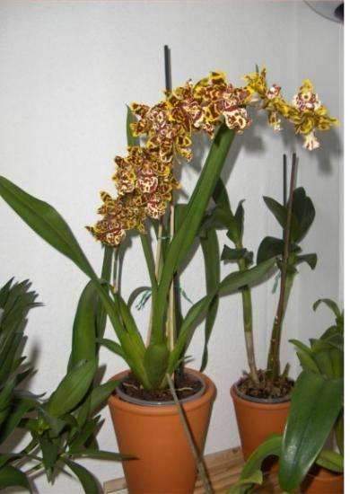 ᐉ орхидея камбрия: уход в домашних условиях, размножение, пересадка, почему желтеет - roza-zanoza.ru