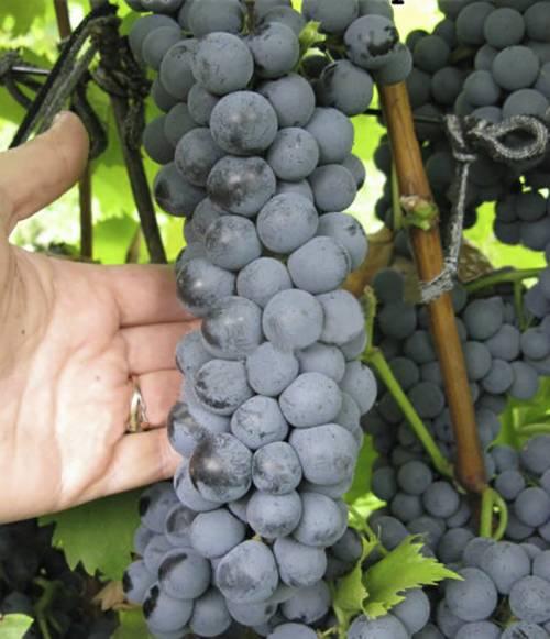 Описание и характеристики сорта винограда ливадийский черный, история и правила выращивания - всё про сады