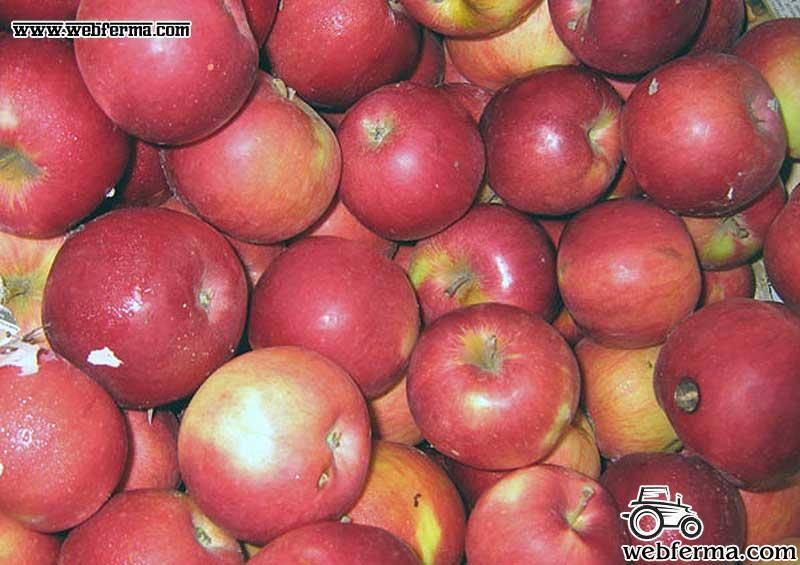 Яблоня айдаред, описание дерева и плодов, принципы посадки и выращивания