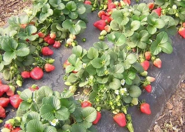 Клубника лорд: описание сорта, выращивание, отзывы, фото