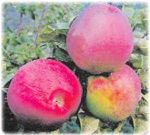 Яблоня подарок графскому