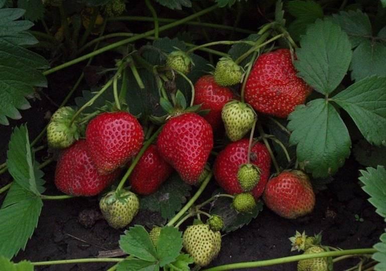 Описание и выращивание клубники сорта елизавета, посадка и уход