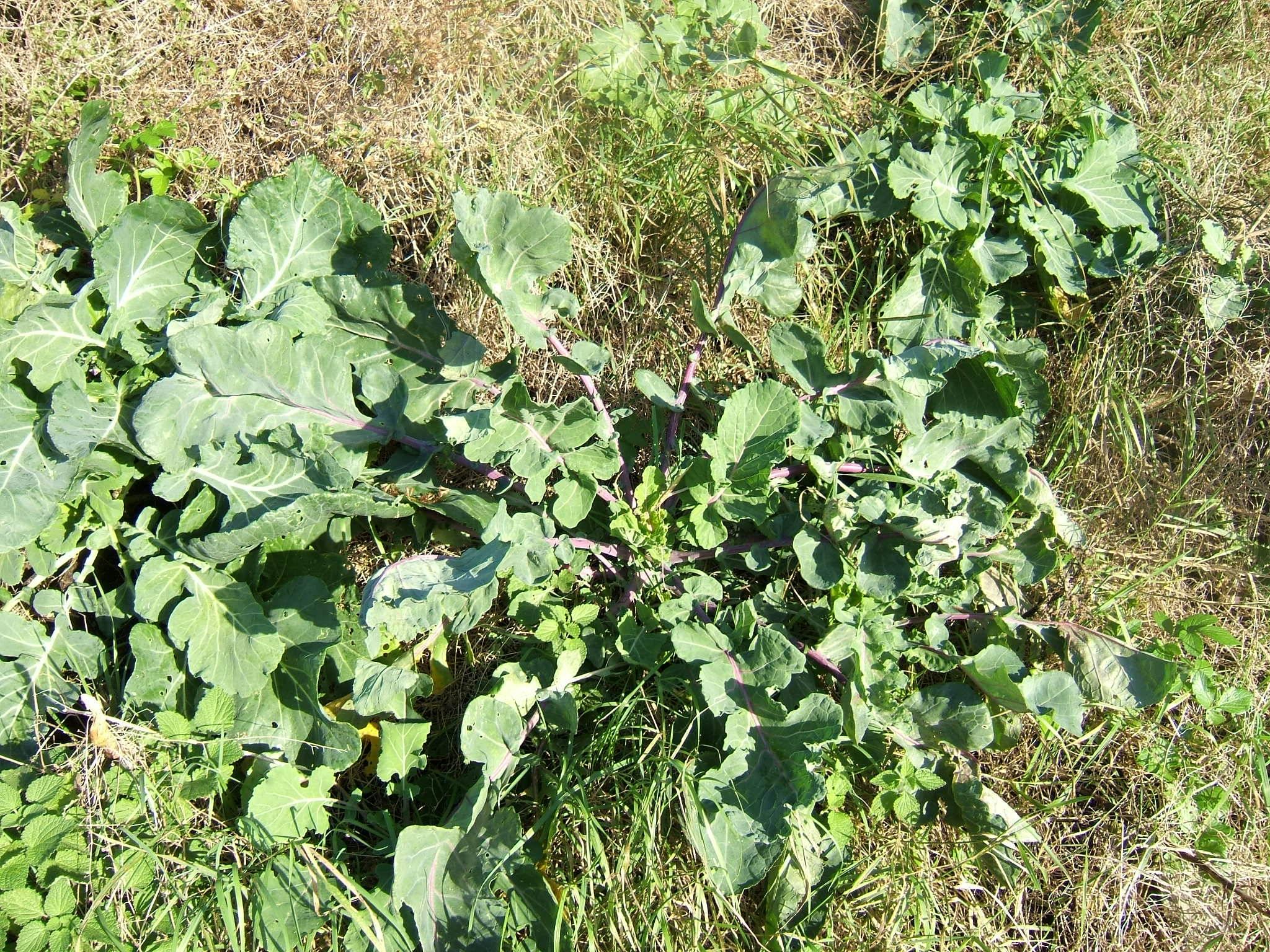 Белокочанная капуста: польза и вред овоща | food and health