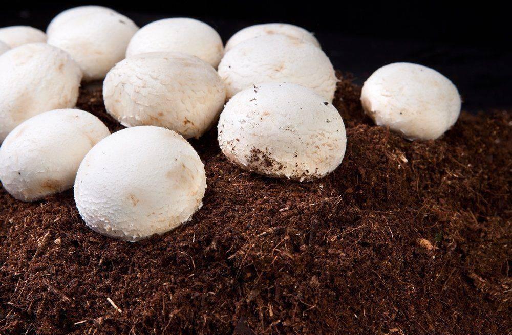 Выращивание шампиньонов для новичков в домашних условиях: пошагово в подвале, на грядке и балконе, видео