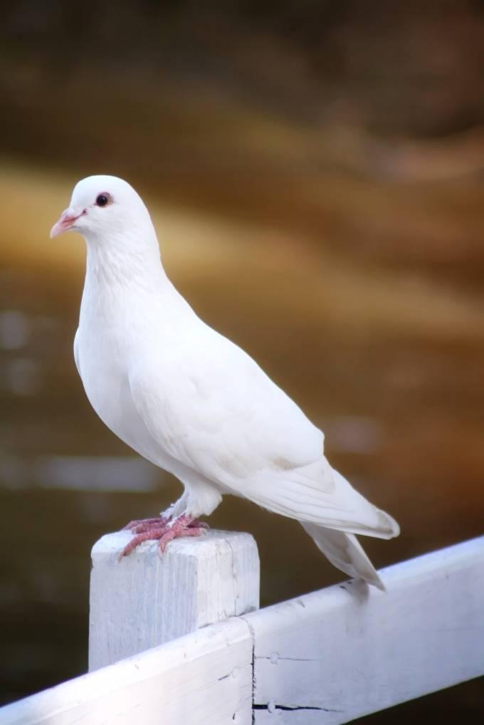 Как отличить голубя от голубки: характерные внешние и поведенческие признаки птиц разного пола