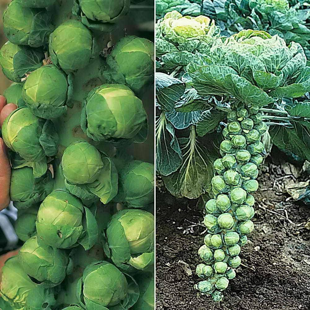 Брюссельская капуста - выращивание и уход в сибири и на урале