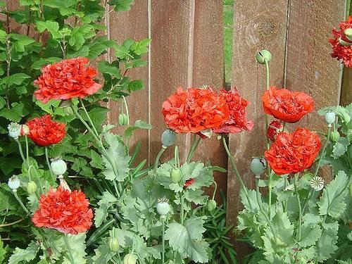 Цветок мак: 50 фото, ? виды и сорта, как садить и ухаживать