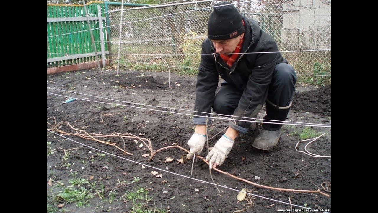 Как укрывать виноград на зиму в сибири