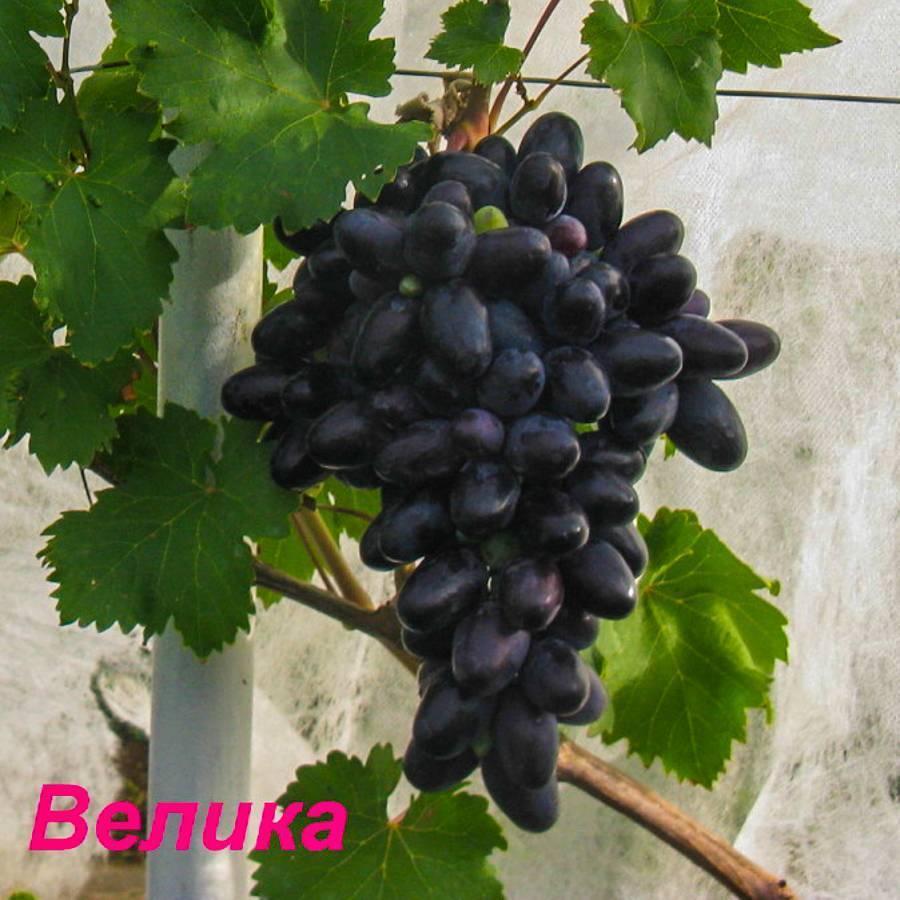 Виноград велика описание особенностей сорта, агротехника выращивания, отзывы и фото