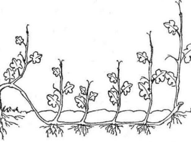 Размножение винограда в домашних условиях черенками и отводками: рекомендации по заготовке посадочного материала и его посадке весной и осенью с фото и видео