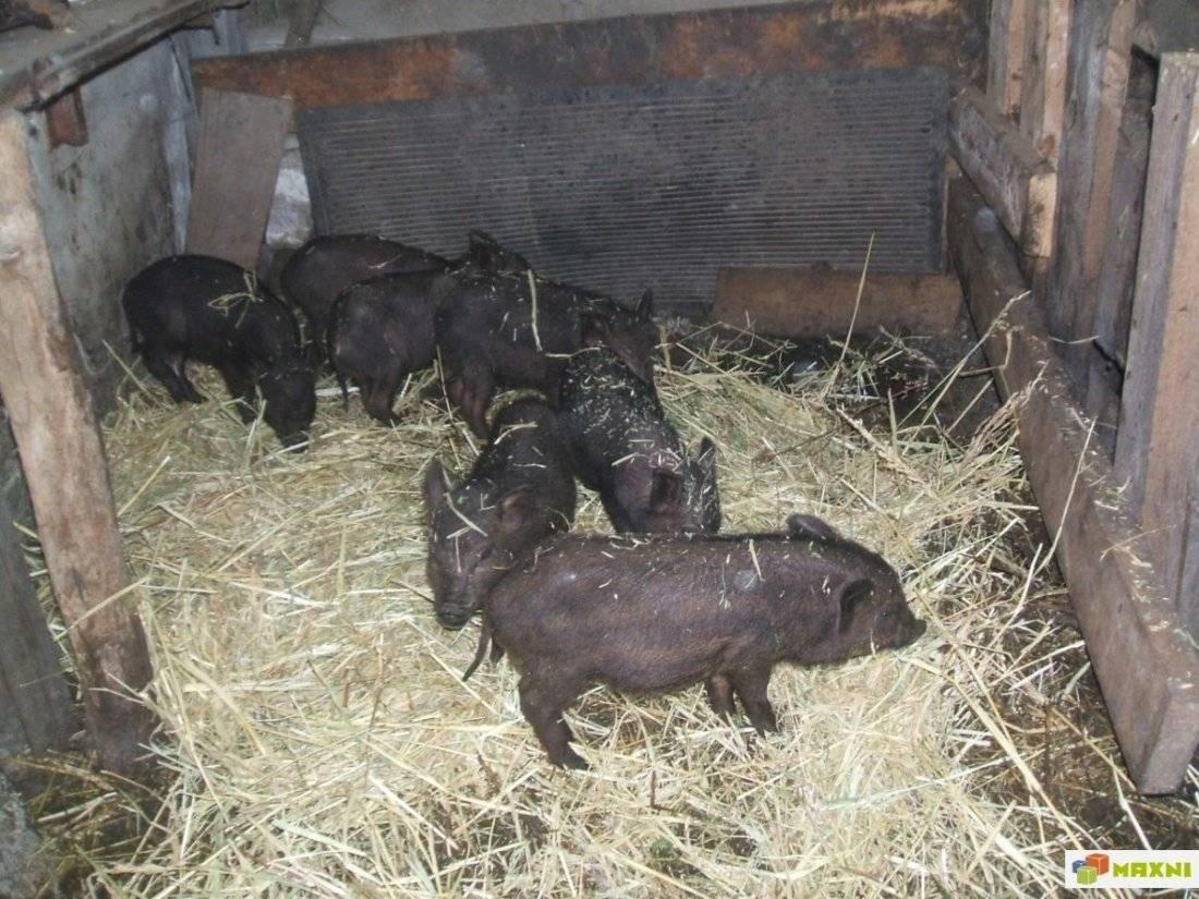 Все про породу свиней кармал
