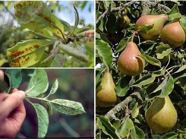 Надежная защита яблони от парши и мучнистой росы