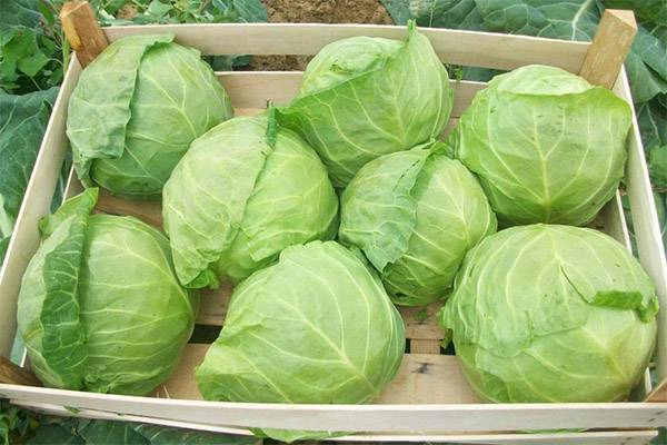 Вареная капуста — польза и вред | польза и вред