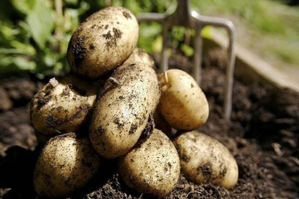 Раннеспелый сорт картофеля — джелли. описание и фото, нюансы выращивания