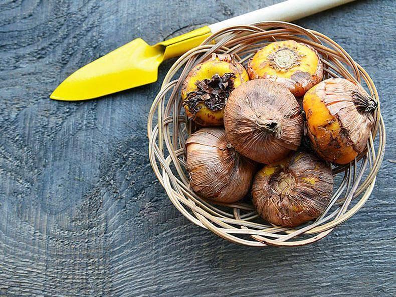 Когда выкапывать гладиолусы осенью и как хранить луковицы зимой