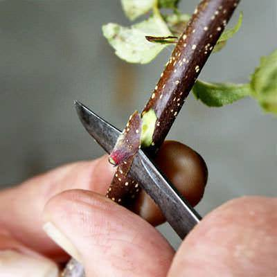 Прививка деревьев для начинающих. популярные методы