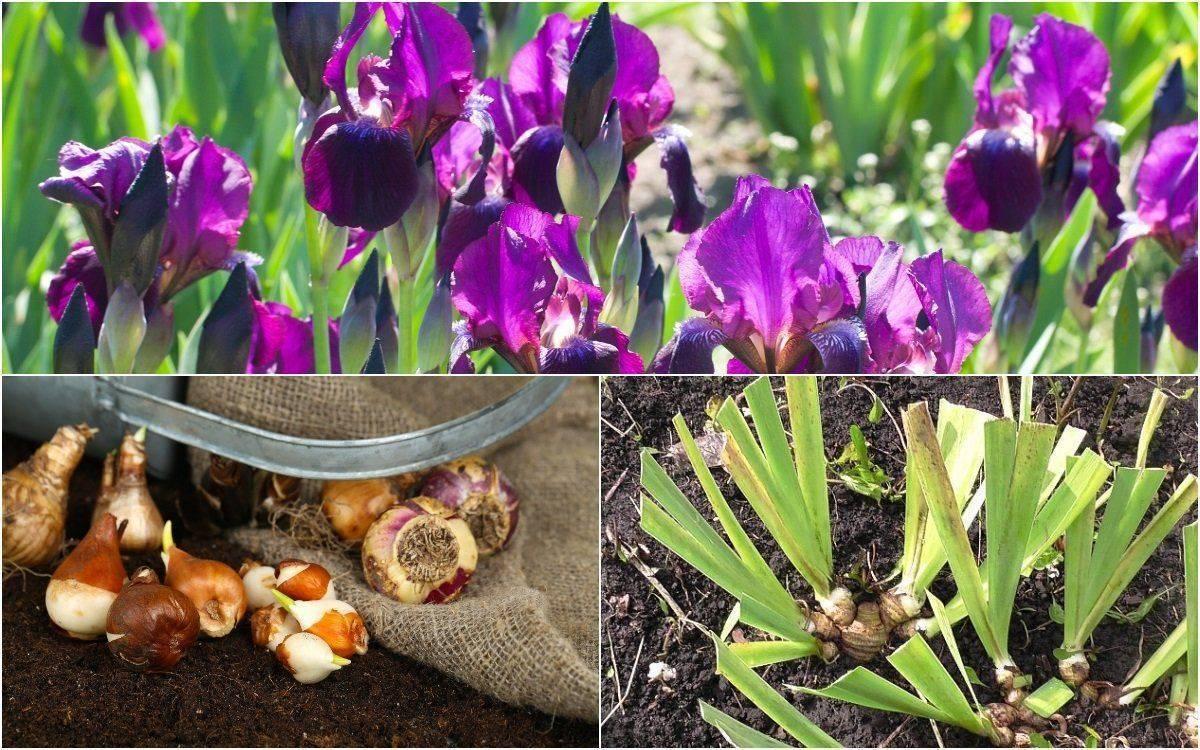 Уход за ирисами осенью: подготовка к зиме, подкормка, обрезка, выбор удобрений