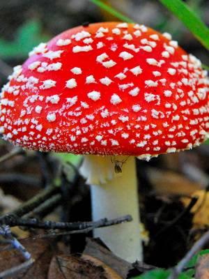 Можно ли готовить мухоморы? развеиваем мифы о якобы самом ядовитом грибе |  палач | гаджеты, скидки и медиа