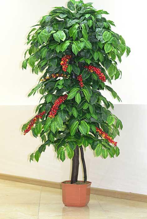 Как выращивать кофейное дерево в домашних условиях: фото растения, пересадка и уход за растением, чем удобрять и как получить урожай selo.guru — интернет портал о сельском хозяйстве