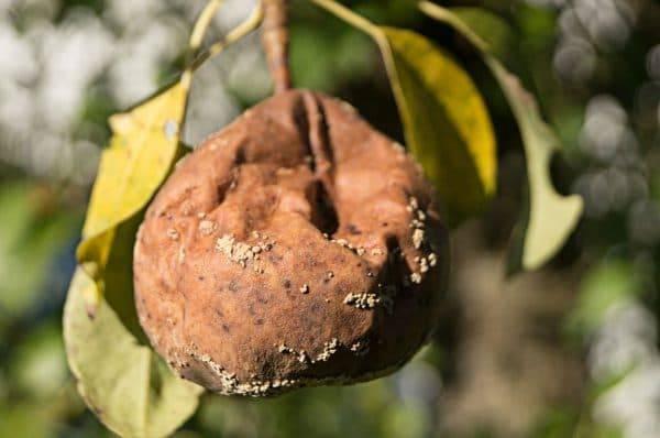 Ржавчина груши. как предотвратить заболевание, как лечить дерево и можно ли есть пораженные плоды. 21.by
