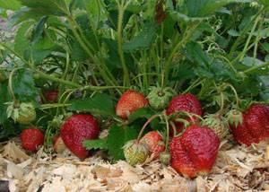 Выращивание клубники в сибири в открытом грунте: лучшие сорта, посадка и уход